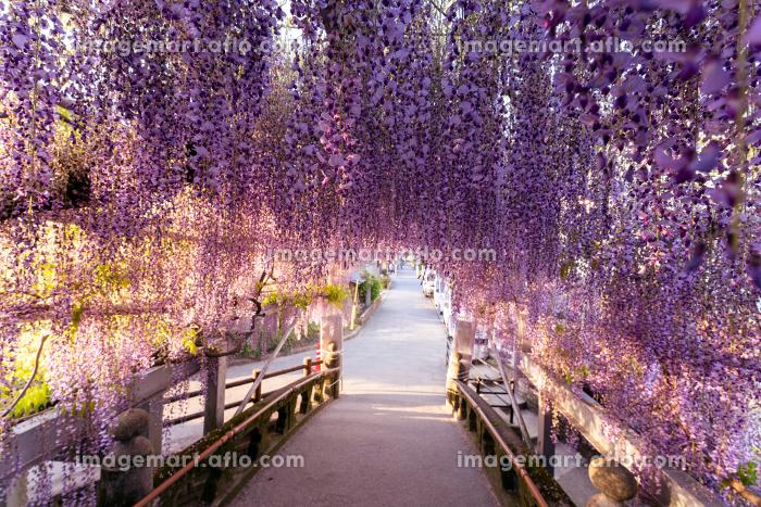 柳川市 満開の藤の花の販売画像