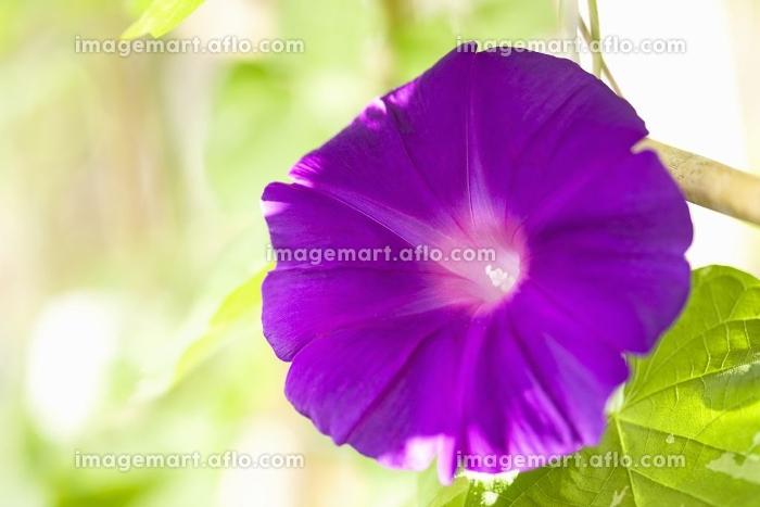 アサガオの花の販売画像