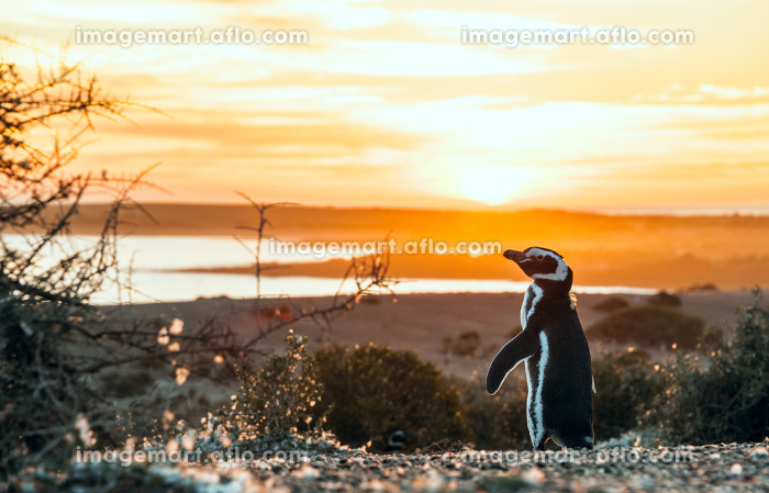 Magellanic Penguins, very early Patagonian golden morningの販売画像