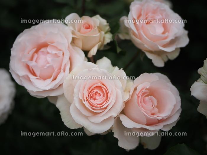 可憐な薄いピンクの薔薇の販売画像
