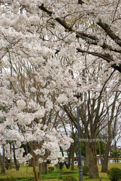 桜満開の公園の販売画像
