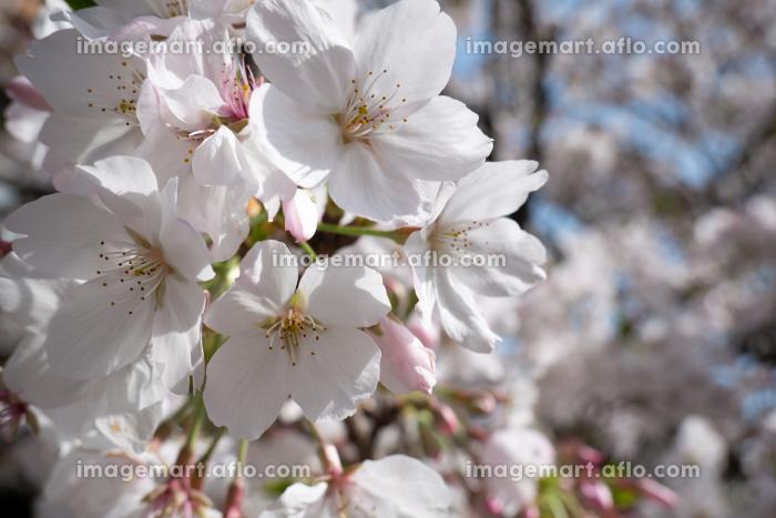 アップの桜の花の販売画像