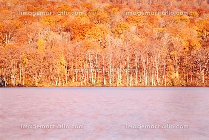 青森県八甲田山麓にある蔦沼 紅葉の森に朝日が当たり湖全体が黄金色に染まるの販売画像