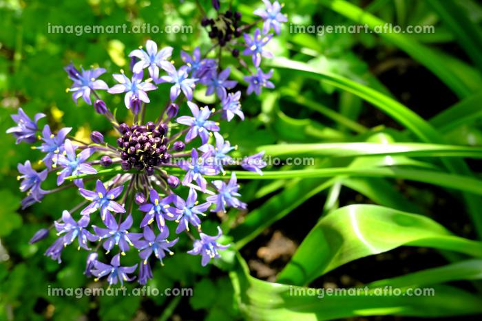 春を迎えたシラーベルビアナの青い花の販売画像