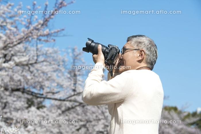 カメラで桜を撮るシニア男性の販売画像