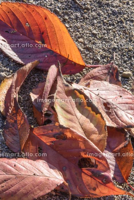 斜光を浴びる公園の落ち葉の販売画像