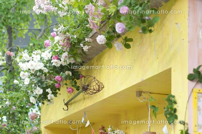 黄色い壁と蔓バラの販売画像