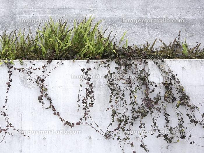 公共施設のコンクリート塀の植栽の販売画像