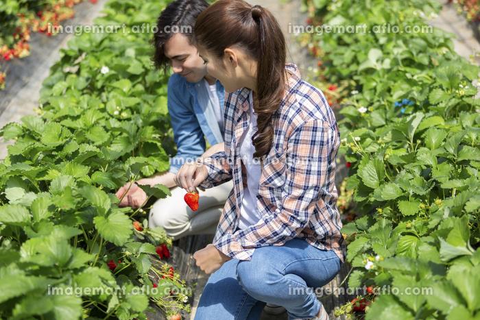 イチゴ狩りをするカップル