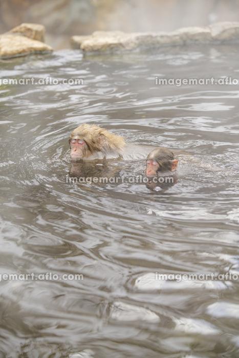 長野県山ノ内町 地獄谷野猿公苑の温泉に入るニホンザルの販売画像