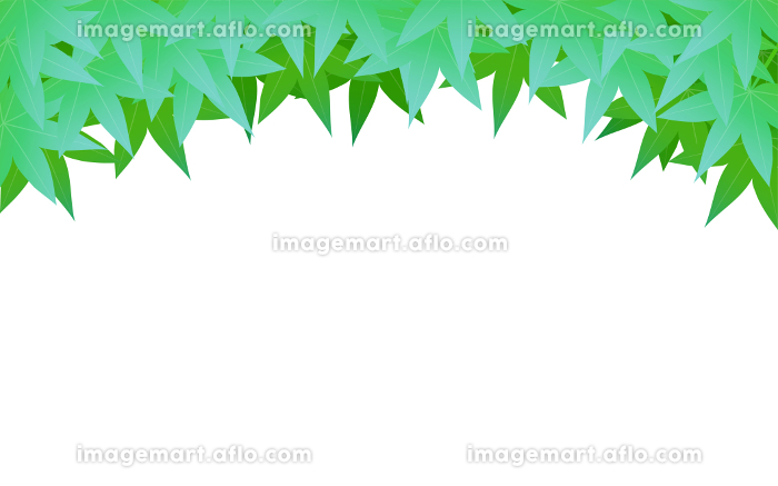 初夏の青紅葉の背景素材、上に青紅葉、白背景の販売画像