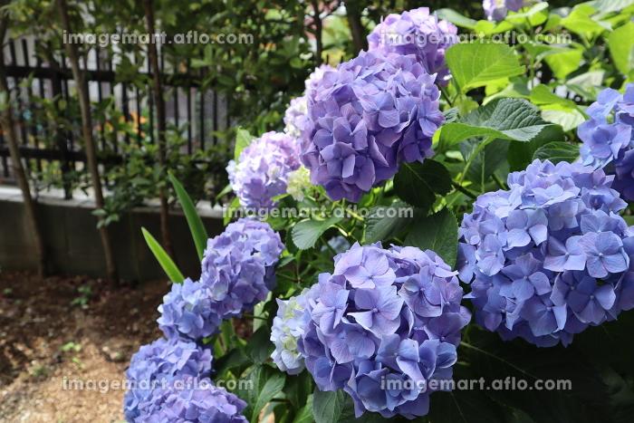 六月の季節 梅雨の花 庭にある満開の青紫の紫陽花の販売画像