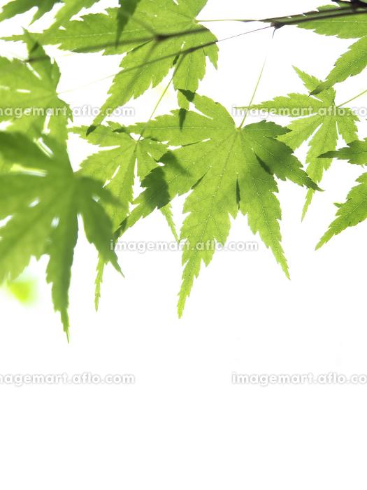 新緑のカエデの葉の販売画像