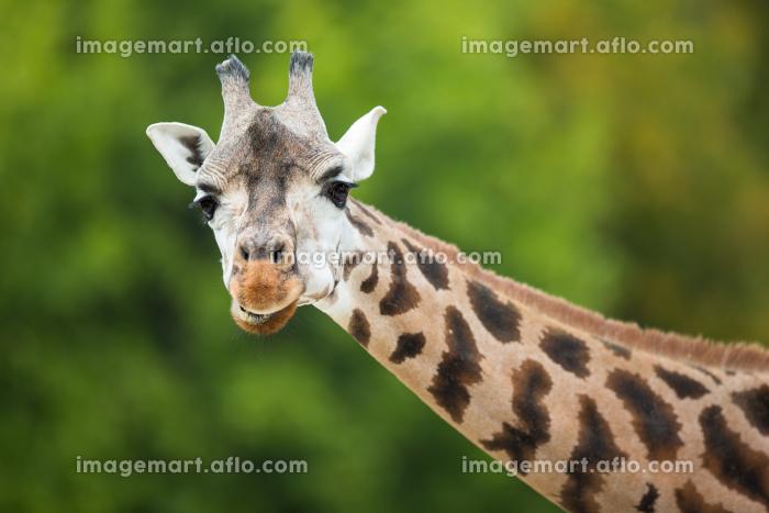Giraffe (Giraffa camelopardalis)の販売画像