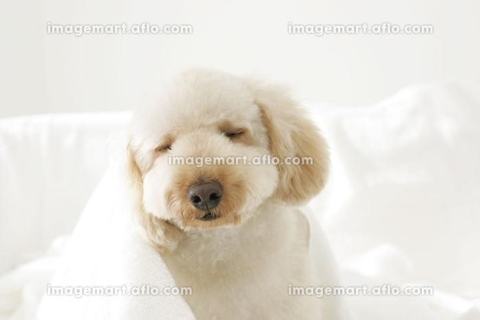 タオルにくるまる可愛い犬