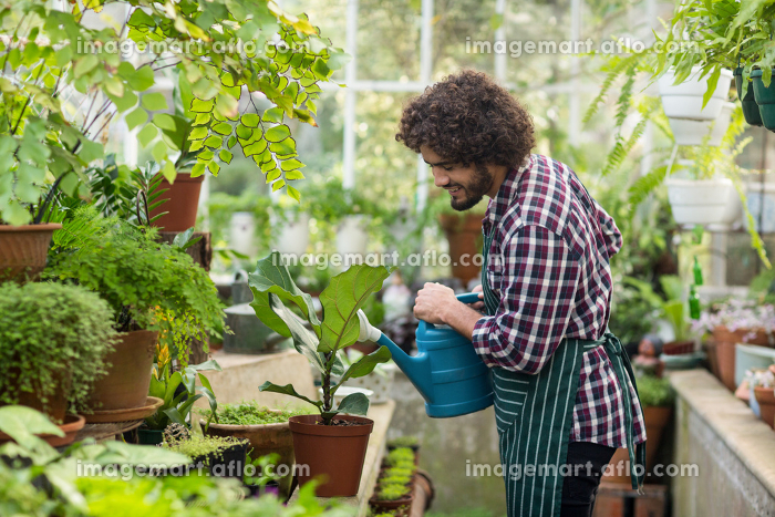 Male gardener watering plants at greenhouseの販売画像