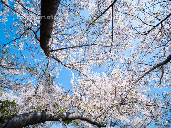 桜が満開の東京都北区赤羽の荒川河川敷 4月の販売画像