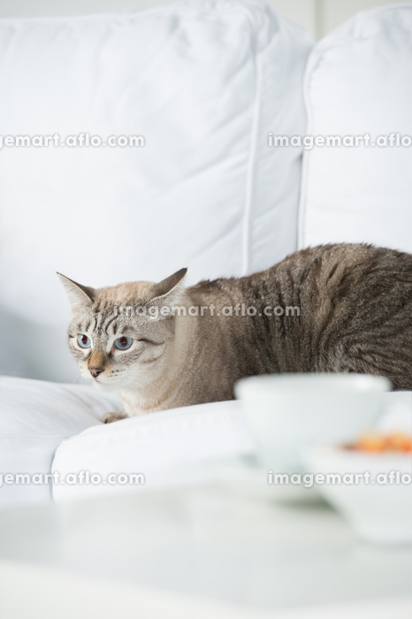 Cute tabby cat at home - laying on sofa and looking waryの販売画像