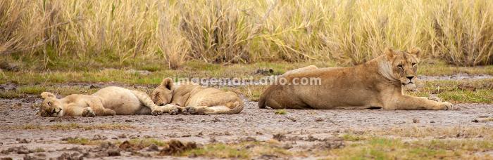 Some lions a resting, on safari in Kenyaの販売画像