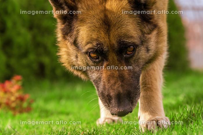 German shepherd close view on face. , Sinemorets, Burgas, Bulgariaの販売画像