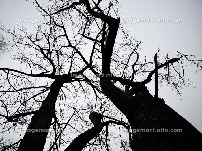 冬枯れの木のシルエットの販売画像
