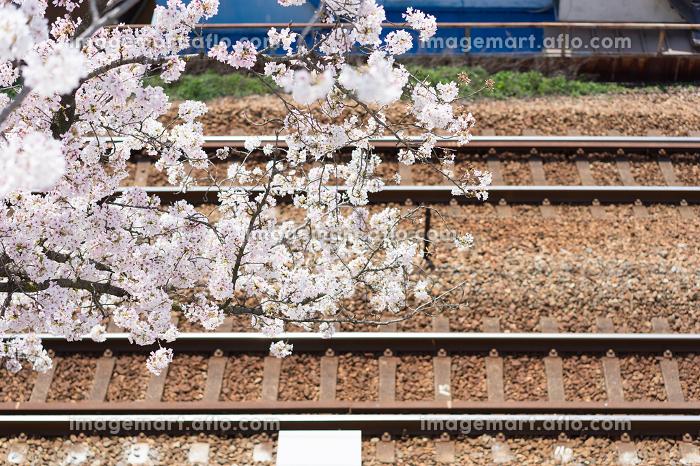 線路と満開の桜の花(日本・広島・尾道)の販売画像