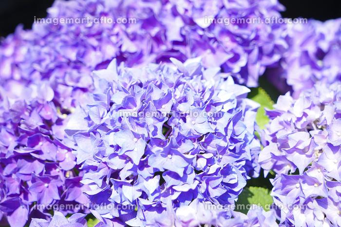 紫陽花の販売画像