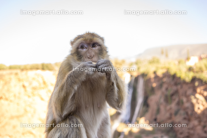 The Barbary macaque, Macaca sylvanus, Barbary ape, magot in Maroccoの販売画像
