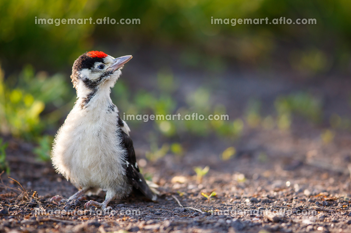 Young Great Spotted Woodpecker on the ground right after leaving the nest, looking around, pondering the question of flyingの販売画像