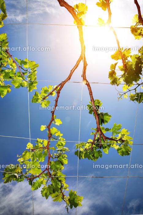 Beautiful fresh grape vineの販売画像