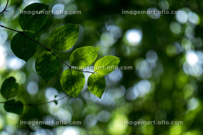 淡い光と新緑の葉 5月の販売画像