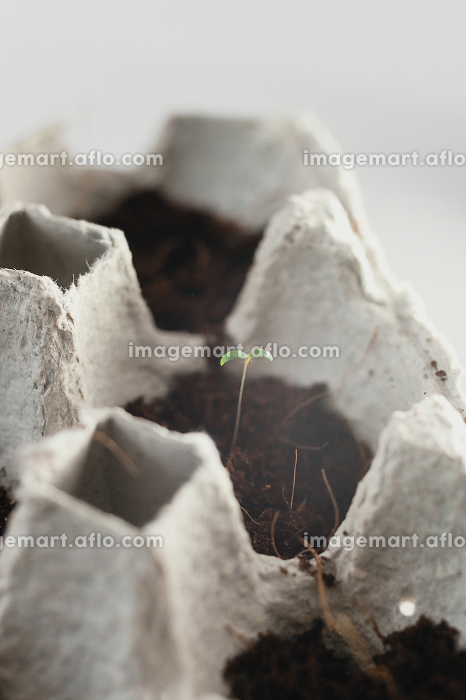 Small plats growing in carton chicken egg box in black soil. Break off the biodegradable paper cup and plant in soil outdoors. Reuse, Rivne, Rivne Oblast, Ukraine