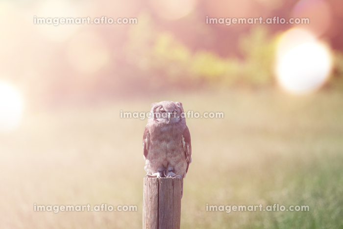 Owl on a field in the morning sun
