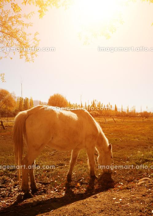 Horse at Holy Fish Pond during sunriseの販売画像