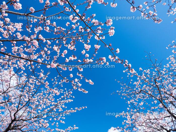 やわらかい春の日差し中で咲くサクラの花 3月の販売画像