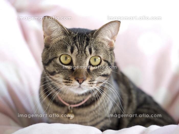 ネコの販売画像