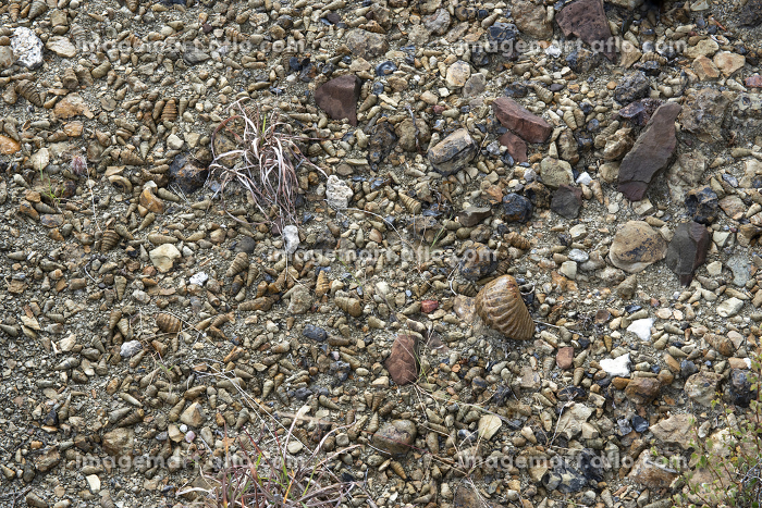 Many shells and other marine fossilized crustaceous in the desertの販売画像