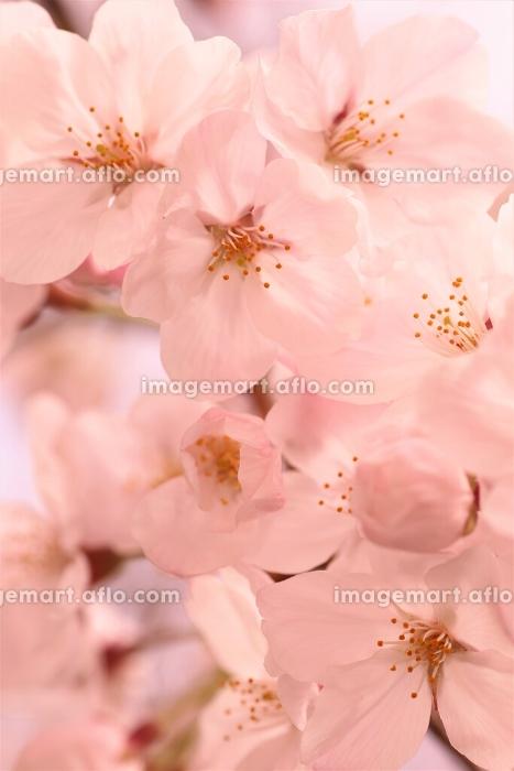 桜の販売画像