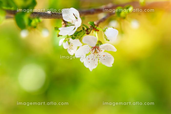Beautiful apple tree bloomingの販売画像