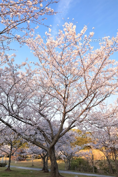 桜の咲く景色の販売画像