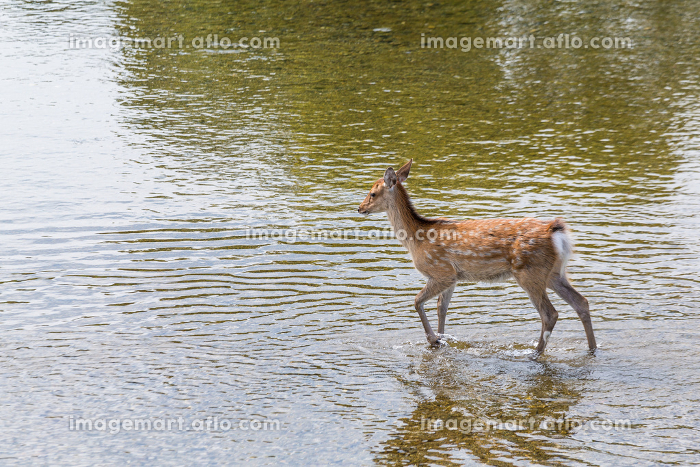Deer walking in the riverの販売画像