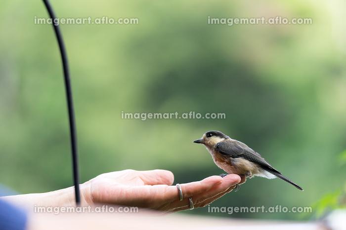人の手に留まる鳥(ヤマガラ)の販売画像