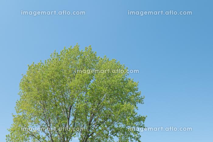 春の青空と新緑の木 4月の販売画像
