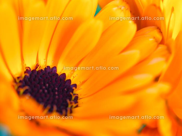 オレンジ色の鮮やかな花キンセンカの販売画像