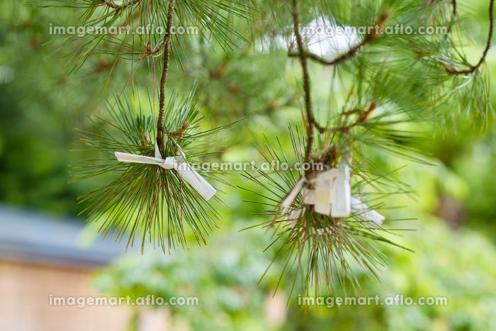 松の枝に結ばれたおみくじの販売画像