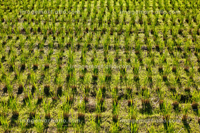 刈った稲の株から葉が再生している田んぼの風景の販売画像
