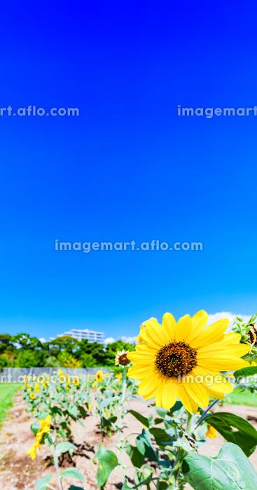 ひまわり 向日葵 【 夏 の イメージ 】の販売画像