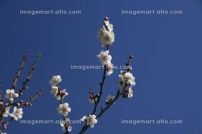 梅の花(冬至)の販売画像