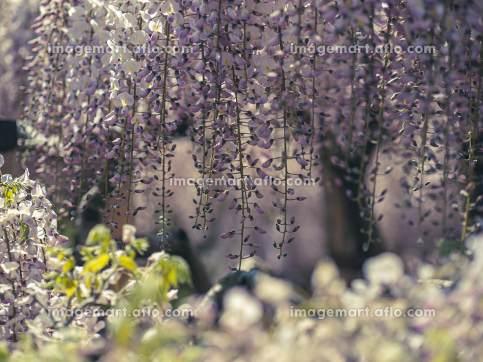 満開の藤の花 4月の販売画像