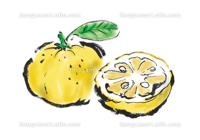 手描きイラスト素材 果物 フルーツ 柚子, ゆず, ユズの販売画像
